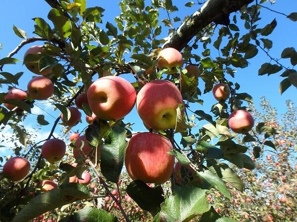 長野 りんご狩り ドライブ