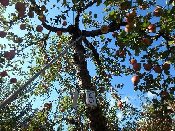 りんごの木オーナー りんご狩り
